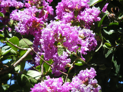 close up of flowering pink crepe myrtle blossoms