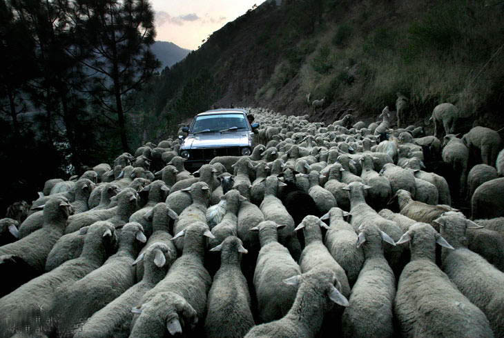 Image result for surrounded by sheep gif