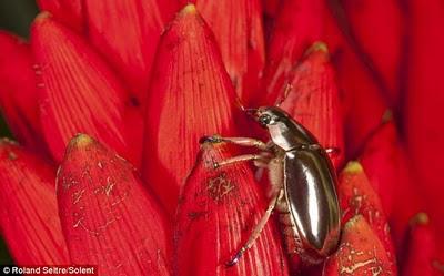 bintancenter.blogspot.com - Kumbang Unik Berwarna Metallic di Kosta Rika