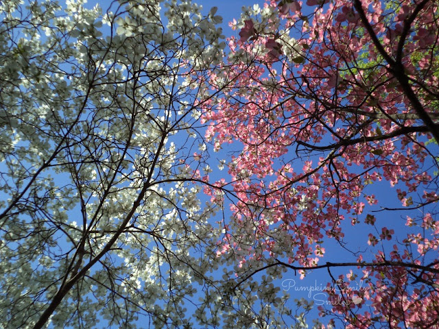 Pink and white Dogwood trees