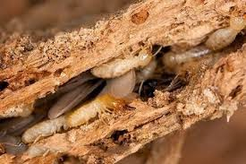 sinh vật hại gỗ