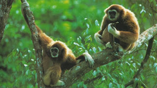 gibbons_apes