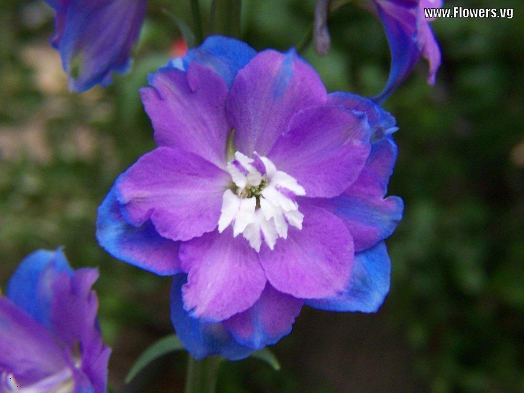 Flowers Delphinium /Larkspur / Dolphin - Garden Flowers
