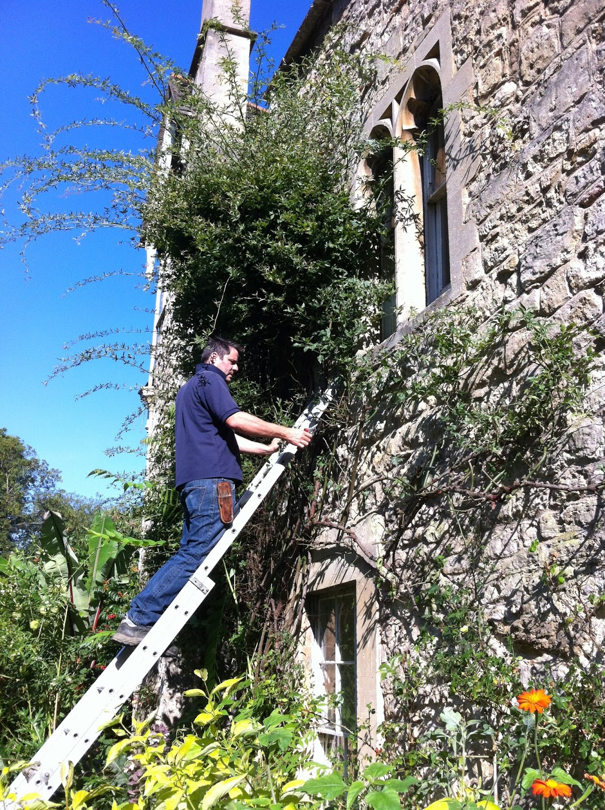 Worcester College Gardeners: Radical Pruning Of The Rosa banksiae ...