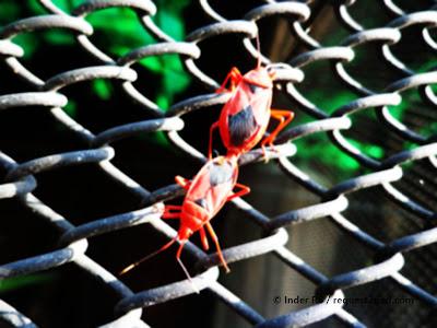 red bugs cenaeus carnifex mating