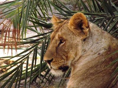 leona, animal africa, animal kenya, felí, felins, felinos
