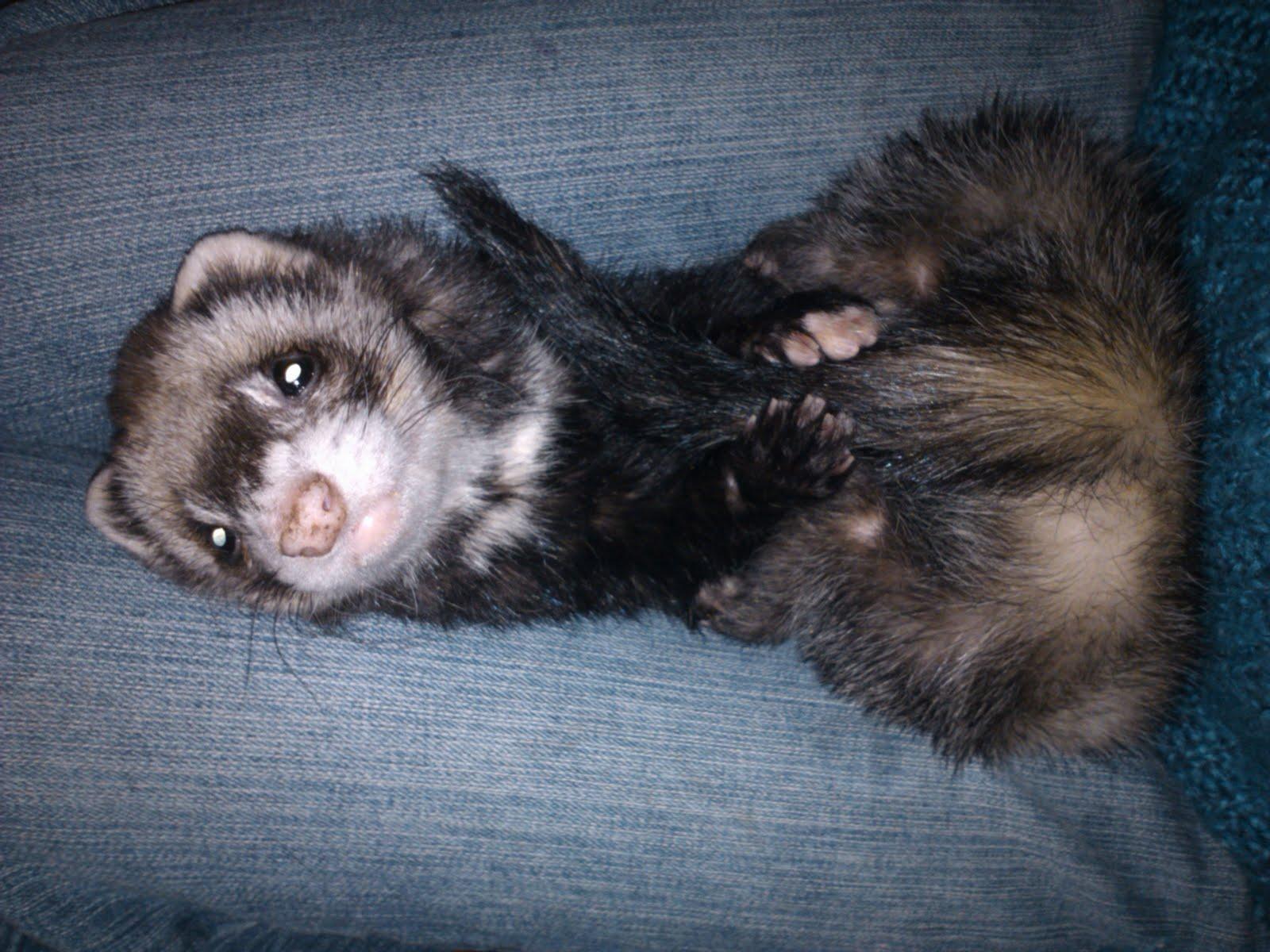 Choose a pet: ferret at home