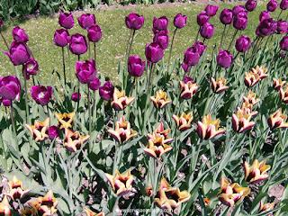 tulipas bicolores