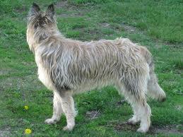 Picardy Shepherd image