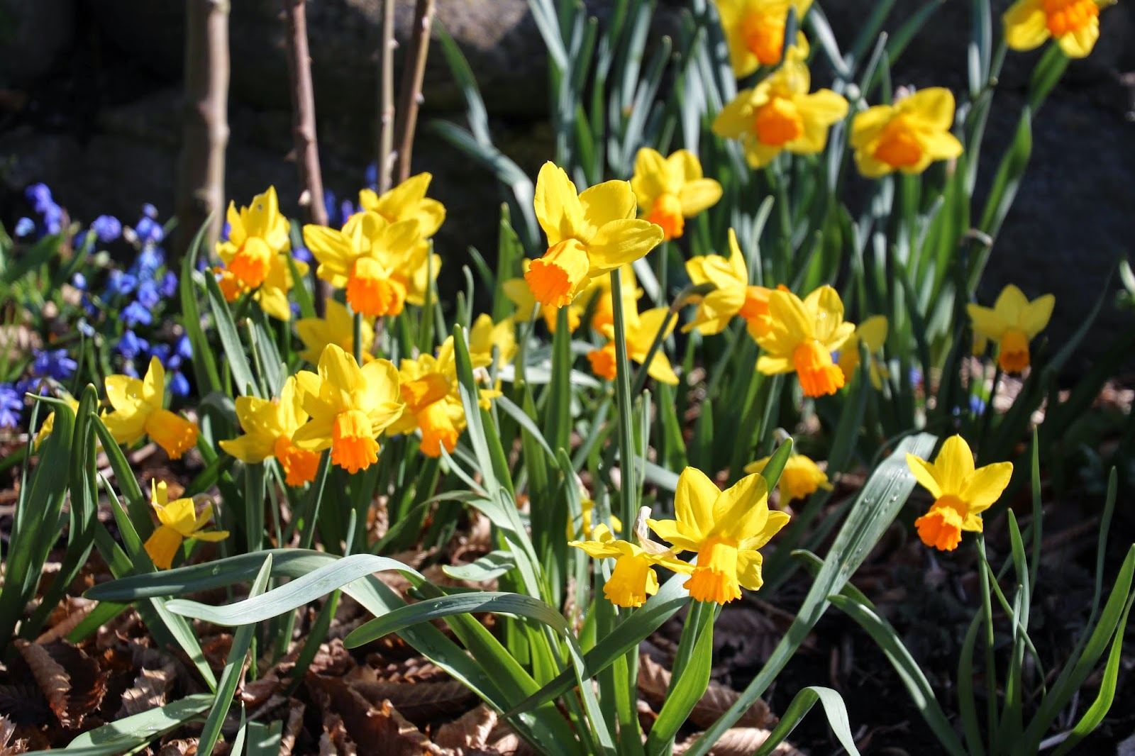 Cyklamennarciss Narcissus cyclamineus jetfire