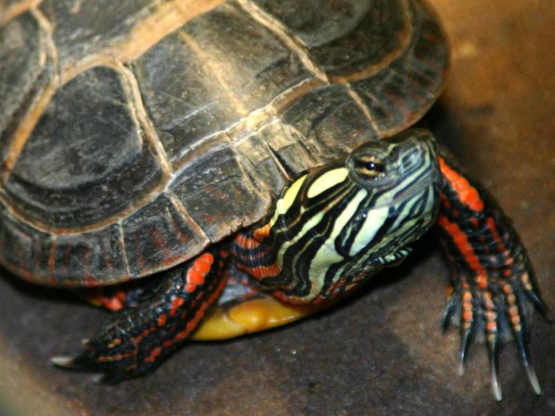 Types of Pet Turtles Pet Turtles The Eastern