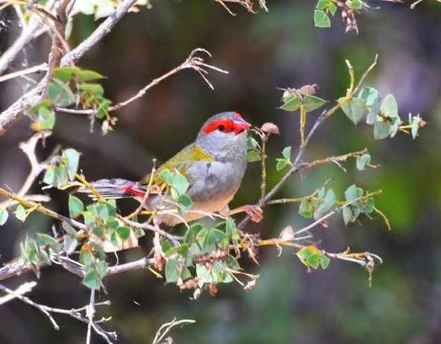 Red-browed Finch 1143