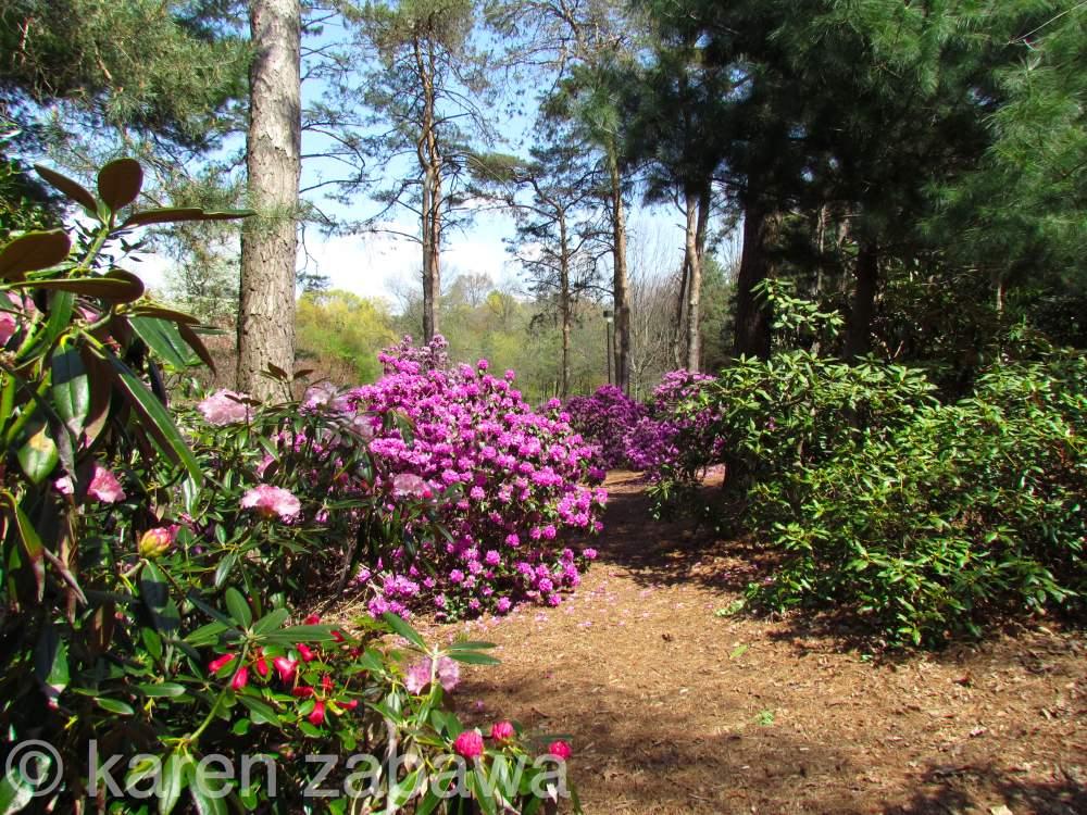 Brueckner Rhododendron Gardens Pjm Rhododendrons Blooming