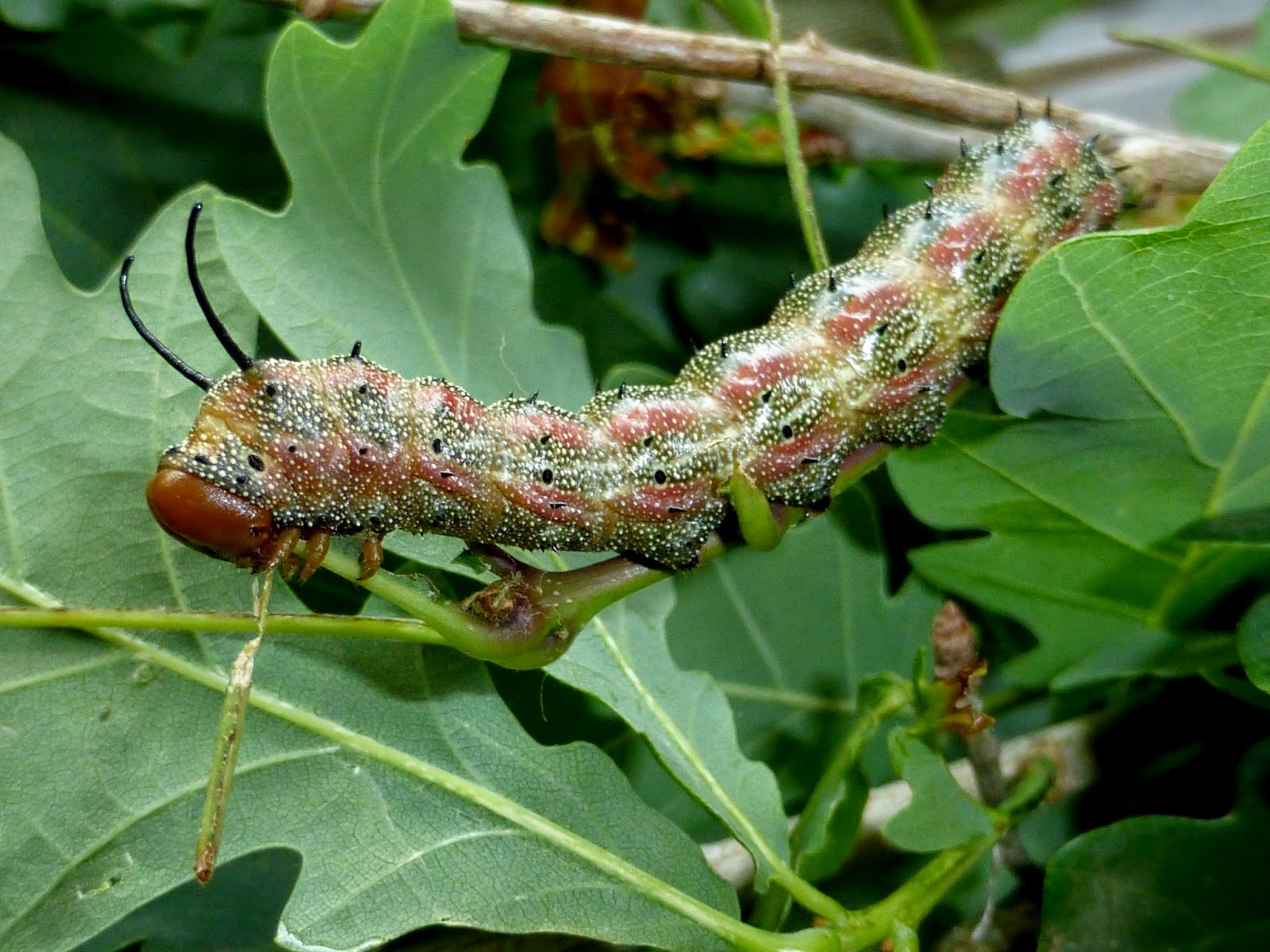 Anisota virginiensis L5 caterpillar