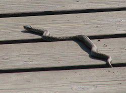 Adder on the Boardwalk