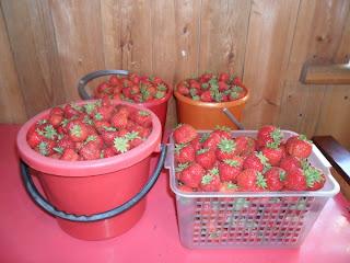 Первый сбор ягод клубники