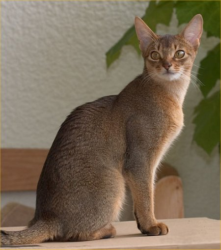 Posted by Muhammad Jibril on Monday, April 30, 2012 Usual Abyssinian Kittens