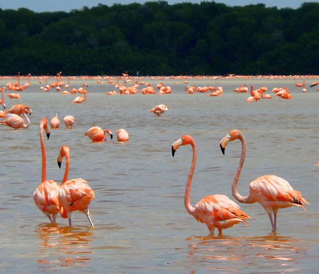 Os lindos flamingos