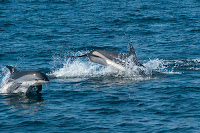 Atlantic White-sided Dolphins swimming in ocean