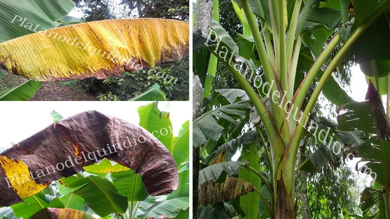 Platano del quindio deficiencia de potasio for Potasio para plantas