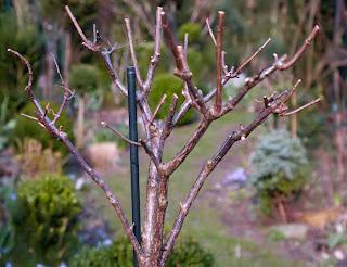 hydrangea paniculata die rispenhortensie schnitt von hydrangea paniculata. Black Bedroom Furniture Sets. Home Design Ideas