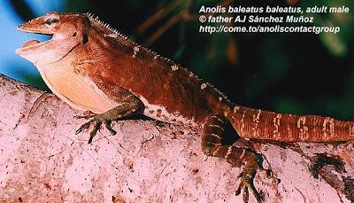 Lagartija gigante dominicana Anolis baleatus
