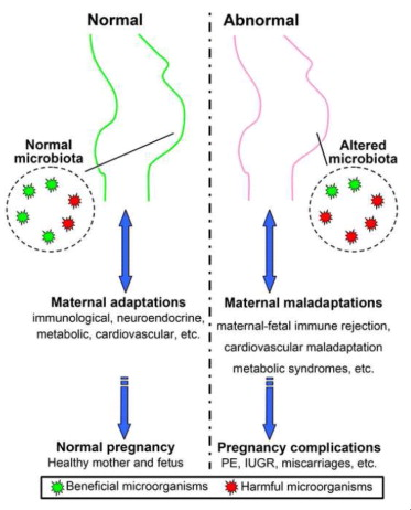 the influence of maternal microbiota on fetal and neonatal immune development During prenatal development, the developing fetus receives all nutrients from the maternal circulation, and therefore it is tempting to speculate that the metabolic output of the maternal gut microbiota might include compounds that can cross the placenta barrier and influence fetal brain development (see section 5.