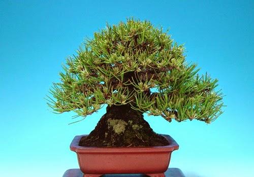 Một số tác phẩm bonsai mini đẹp