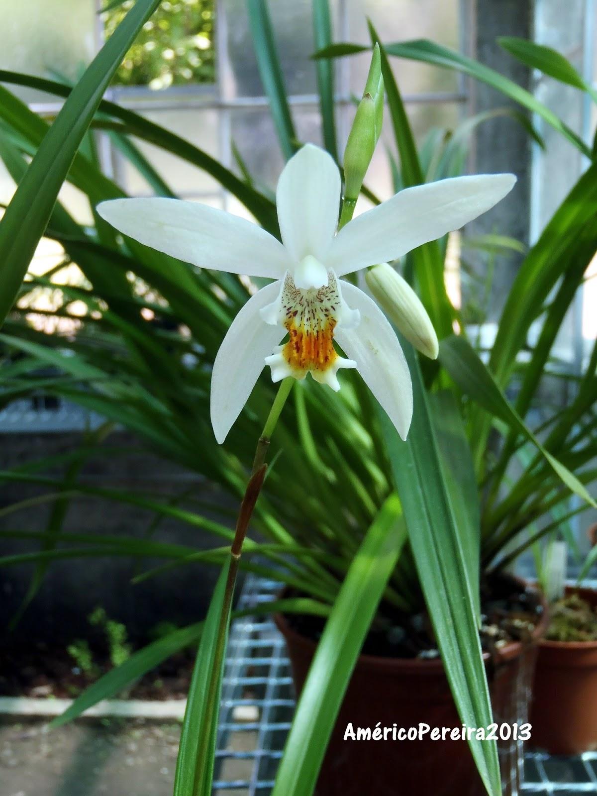 uma variedade branca, resultante de um pequeno bolbo comprado no início de 2013. Trata,se de uma orquídea terrestre, de climas fios, cuja parte foliar