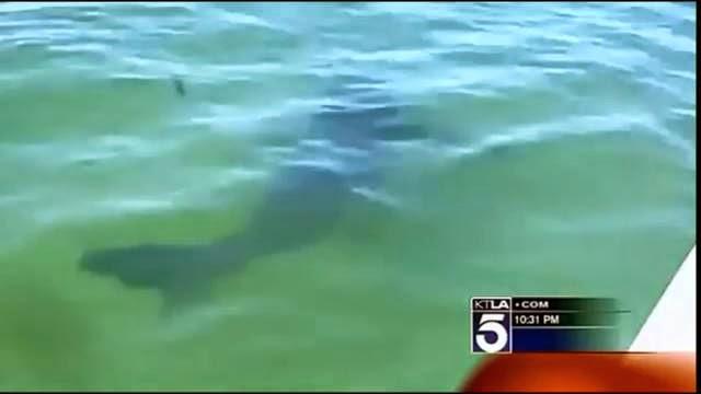 Un surfeur californien voit un grand requin blanc passer sous sa planche de surf avec sa Gopro !