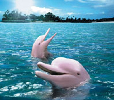 Interesting Facts about Pink Dolphins !!! : Do You Know?