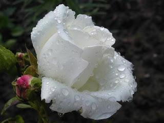 rosa blanca en fondo negro