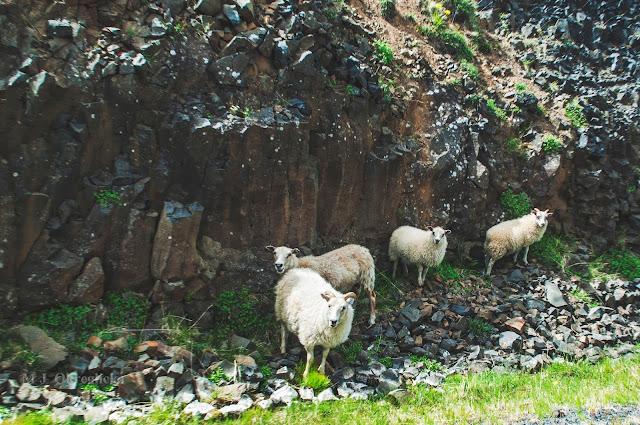 przydrożne owce na Islandii