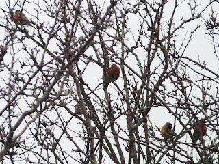 dawn robins