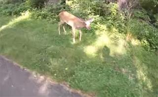 Lil Miami Deer