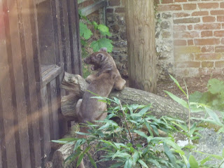 fossa madagascars top predator Marwell Zoo