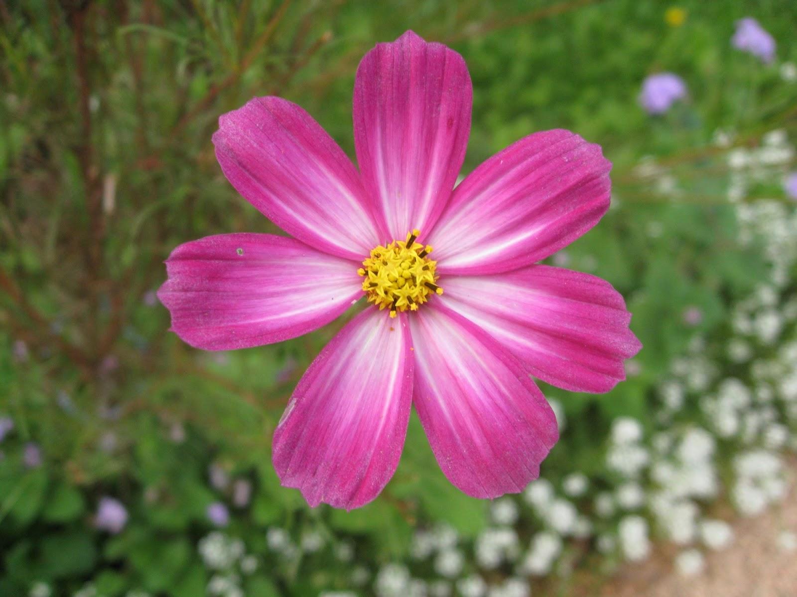 Flowers planets september aster flowers september aster flower mightylinksfo