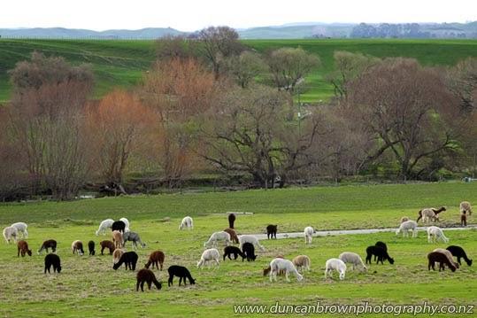 Waimarie Alpacas, SH50,  Maraekakaho photograph