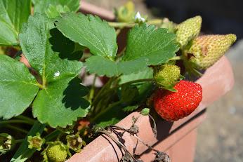 Las primeras fresas