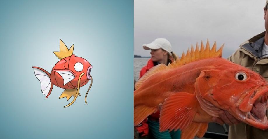 Magikarp - Yelloweye Rockfish