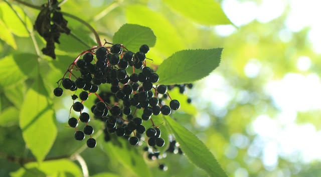 autumn berries black nature