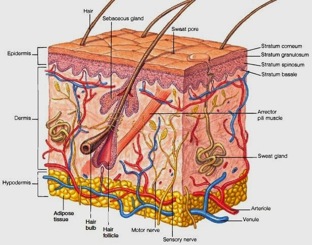 Hair Follicles And Sebaceous Sweat Glands | Anatomy Picture Reference ...