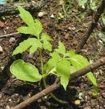 planta de jaiba o caigua