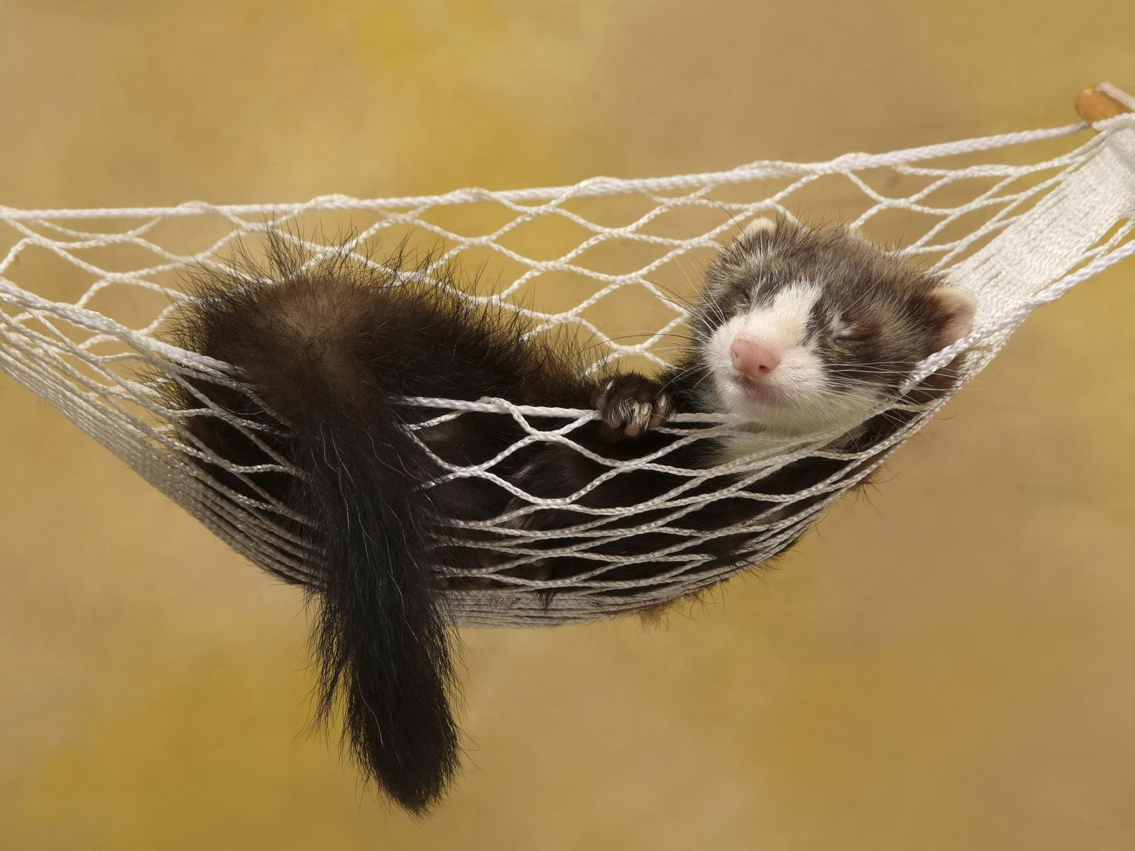 Ferrets Wallpapers - Pets Cute and Docile