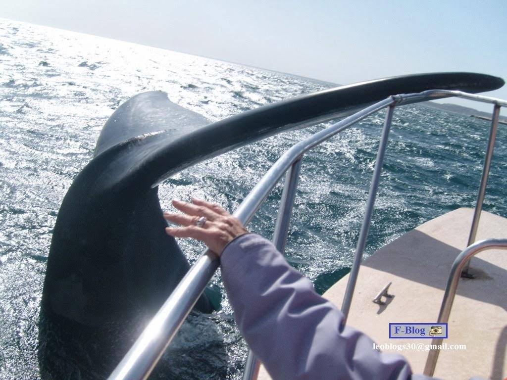Espectacular Foto: cola de ballena franca austral toca la baranda del barco
