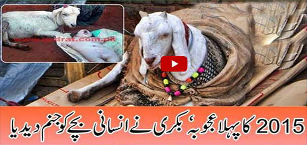 Goat given birth to a baby like Human