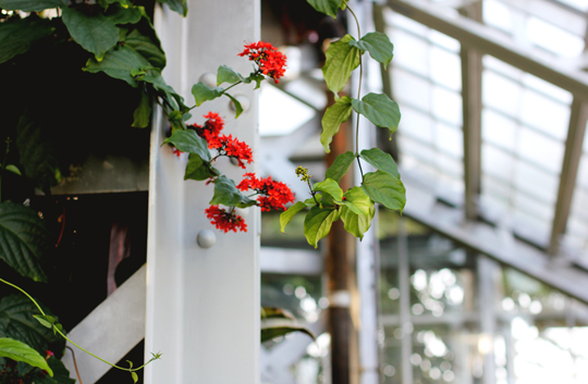 red flowering vine at United States Botanic Garden