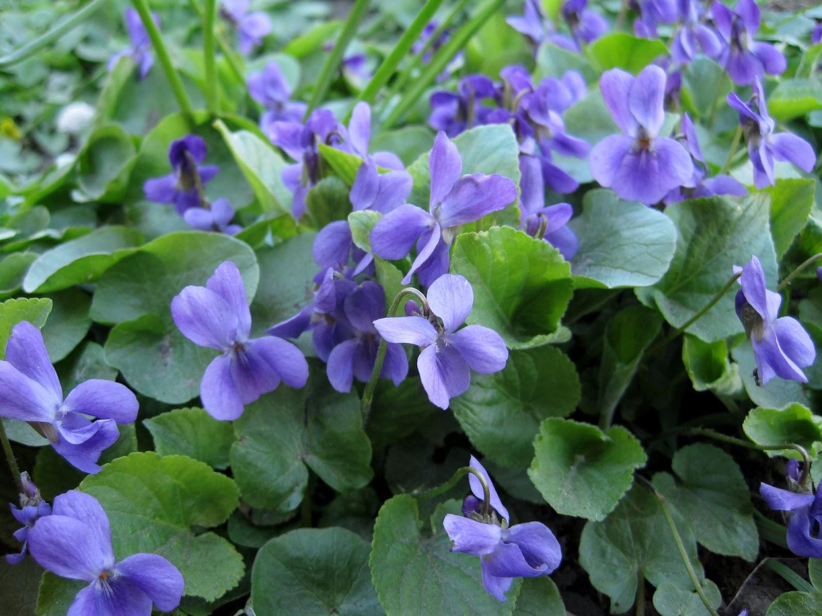 фиалки violet
