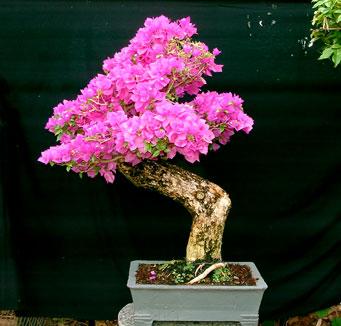 Piante e fiori cure stagionali dei bonsai for Bonsai da interno