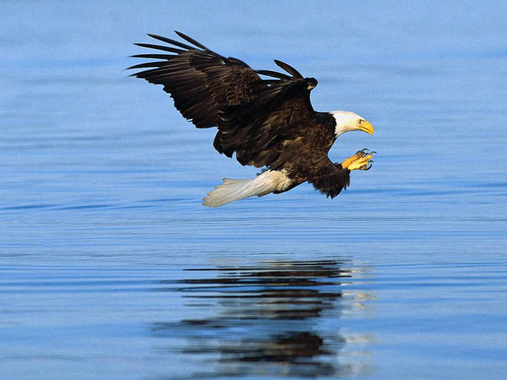 http://2.bp.blogspot.com/-_8IZFChaB_E/T_Q2WkFsvTI/AAAAAAAADzA/vF2MnELZcXw/s1600/Bald+eagle+wallpapers+10.jpg
